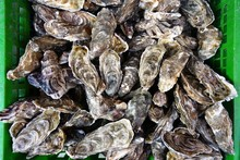 Crate Of Fresh Oysters In Bulk In Cancale, Brittany, France