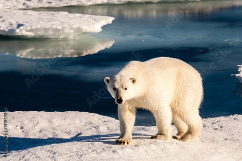 Tuinposter Ijsbeer Beautiful polar bear in Arctic sea ice landscape