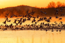 Snow Geese Flying Over A Misty...