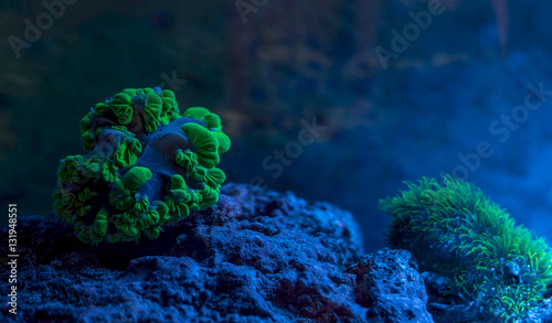 Fotobehang Onder water Plerogyra sinuosa, bubble coral. Star polyp, Clavularia. Reef tank, marine aquarium. Fragment of blue aquarium full of plants. A tank filled with water for keeping live underwater animals. Night view.