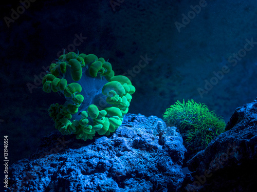 Fotobehang Koraalriffen Plerogyra sinuosa, bubble coral. Star polyp, Clavularia. Reef tank, marine aquarium. Fragment of blue aquarium full of plants. A tank filled with water for keeping live underwater animals. Night view.