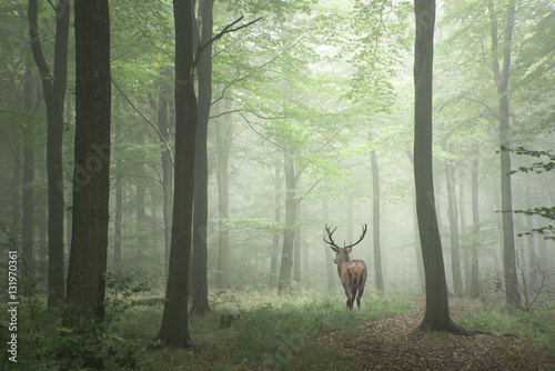 Door stickers Khaki Beautiful image of red deer stag in foggy Autumn colorful forest