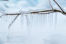 Branches Frozen In The Winter.