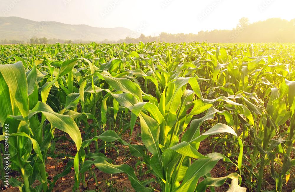 Fototapety, obrazy: Corn field in early morning light