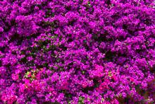 Background Of Purple Bougainvi...