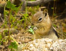 Chipmunk Eating Leaves