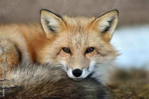 Vászonkép Red fox portrait