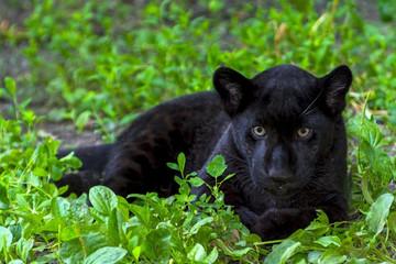Panel Szklany Pantera Black Jaguar Cub