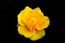 Yellow Rose Petals At Black Background