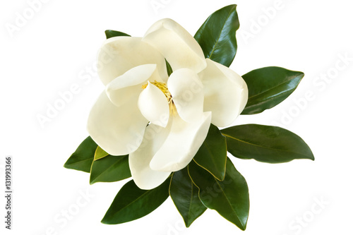 Foto op Canvas Magnolia Magnolia Flower Isolated on White