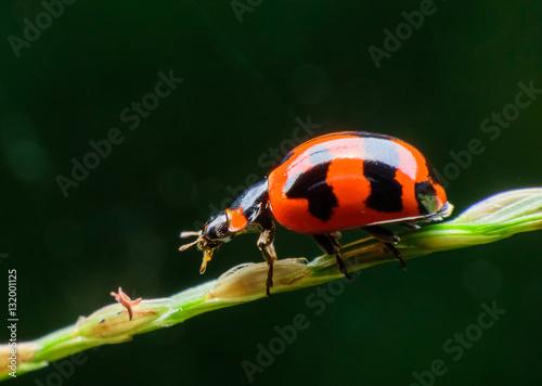 Canvas Prints Ladybugs ladybug on leaf in garden