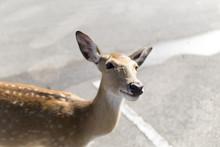 Beautiful Buck In Car Park Of Zoo In Chiangmai ,Thailand