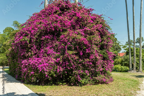 фотография  Colorful Violet Magenta Color tree in Edison and Ford Winter Estates, Fort Myers, Florida