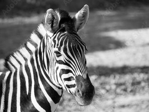 Poster Zebra Close-up portrait of Chapman's zebra, Equus quagga chapmanni, in black and white