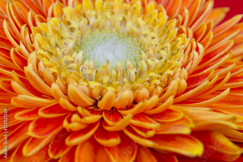 Yellow flower Barberton daisy closeup on the red background Canvas Print