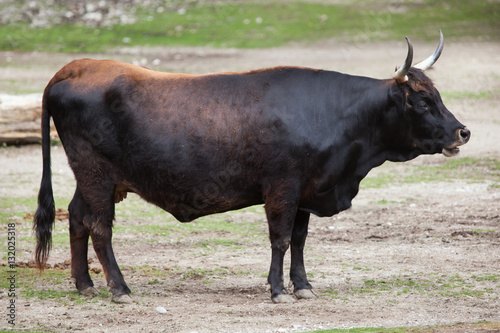 Photo  Heck cattle (Bos primigenius taurus)