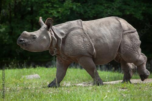 Naklejka premium Indian rhinoceros (Rhinoceros unicornis).