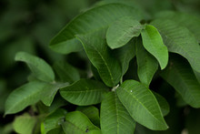 Leaves Of Guava Close Up,guava Green.