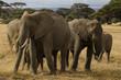 Eléphant d'Afrique, Loxodonta africana, parc national de Tarangire, Tanzanie