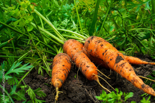 fresh ripe harvested carrots on the ground in the garden