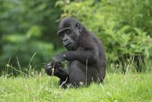Baby Gorilla In The Zoo