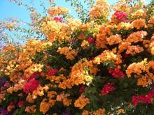 Bougainvillea Drillingsblume