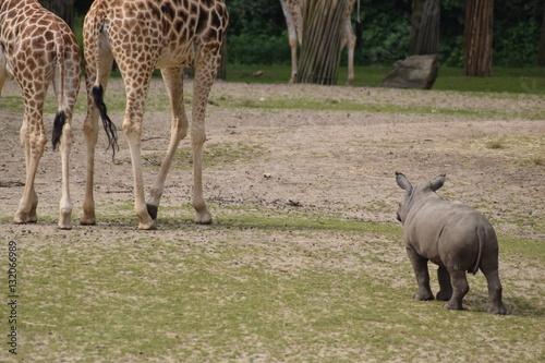 Klein, aber oho. Junges Nilpferd vertreibt Giraffen