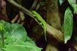 Ton in Ton. Grüne Eidechse im Unterholz