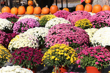 Beautiful Display Of Fall Mums...
