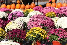 Beautiful Display Of Fall Mums And Pumpkins