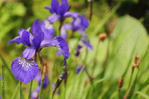 Foto op Canvas Iris Iris Sibirica