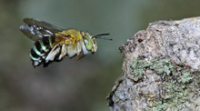 Bee/Bee Beautiful/Cuckoo Wasp