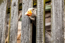 Curious Brown Goose Peeping From Behind A Wooden Fence.