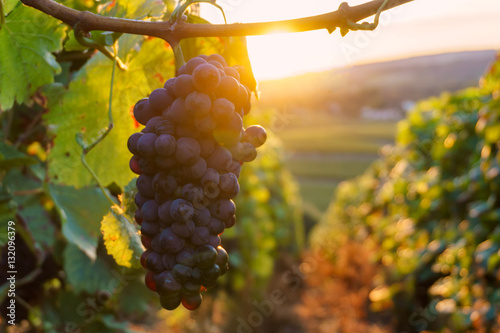Vine grapes in champagne region in autumn harvest, France