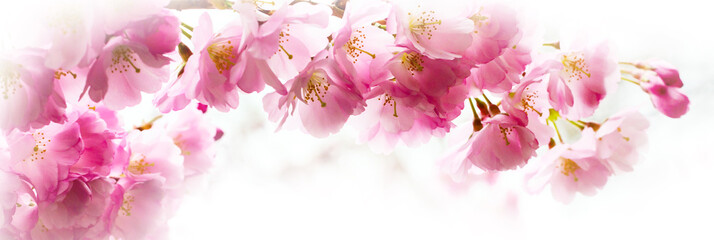 FototapetaPanorama with beautiful pink flower cherry blossom, sakura