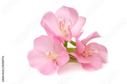 Fototapety, obrazy: Pink Dombeya flower.