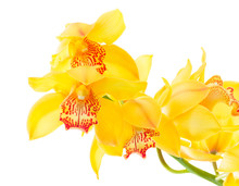 Fresh Natural Yellow Orchid Flowers Clos Eup Isolated On White Background