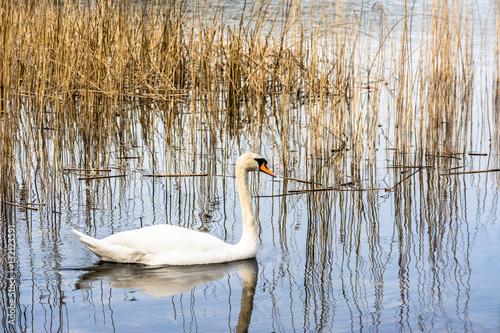 Foto auf AluDibond Schwan White swan on the lake among reeds.