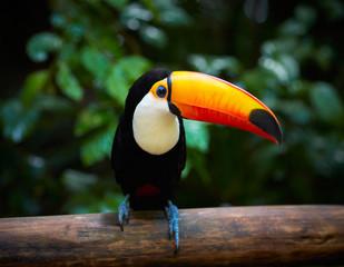Tukan na gałęzi w tropikalnym lesie Brazylii