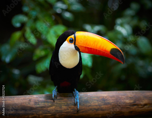 Poster de jardin Perroquets Toucan on the branch in tropical forest of Brazil