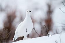 Winter Ptarmigan