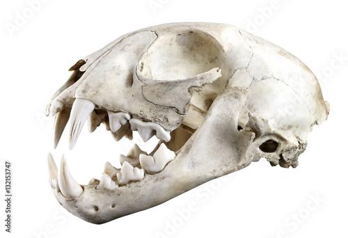 Naklejka premium Widok boczny czaszki ryś rudy (Lynx lynx) na białym tle na białym tle. W pełni otwarte usta. Ostra izolacja za pomocą pióra.