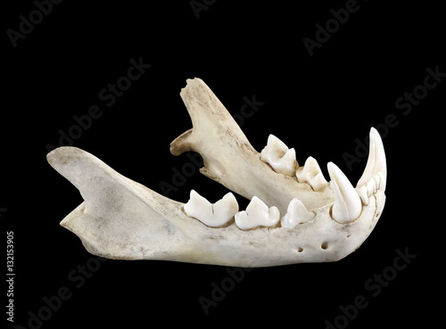 Lower jaw of wild bobcat (Lynx) isolated on a black background.