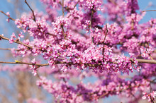 Branches Full Of Pink Flower C...