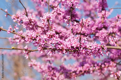 Photo  Branches full of pink flower clusters on Eastern Redbud tree in spring