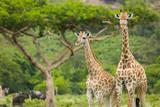 Dwie żyrafy i drzewo akacji