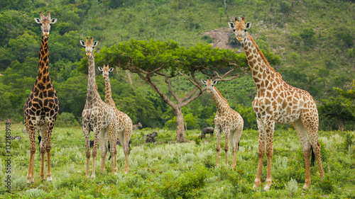 Five Giraffe and an Acacia Tree