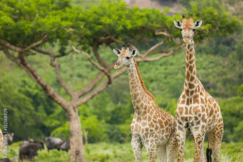 Spoed Foto op Canvas Giraffe Two Giraffes and an Acacia Tree