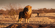 canvas print picture The Lion King stands on a hill