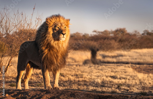 Strong and confident lion on a hill.